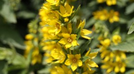 Lysimachia Wallpaper For Android
