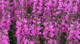 Lythrum Image Download