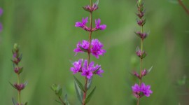 Lythrum Photo Free