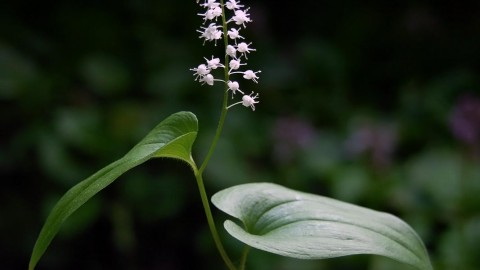 Maianthemum wallpapers high quality
