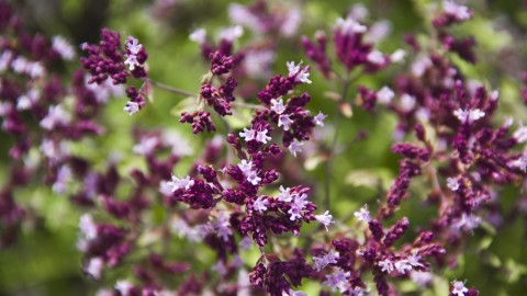 Origanum wallpapers high quality