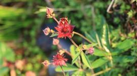 Potentilla Palustris Photo Download