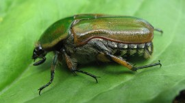 Scarab Beetle High Quality Wallpaper