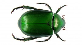 Scarab Beetle Wallpaper Download