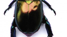 Scarab Beetle Wallpaper For IPhone
