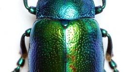 Scarab Beetle Wallpaper For IPhone Free