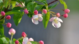 Spring Buds Desktop Wallpaper