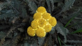 Tanacetum Aircraft Picture