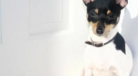 Toy Terrier Desktop Wallpaper HD