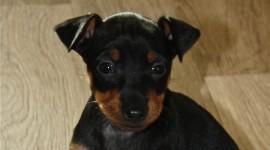 Toy Terrier Wallpaper 1080p