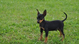 Toy Terrier Wallpaper Download Free
