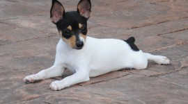 Toy Terrier Wallpaper For PC