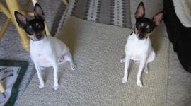 Toy Terrier Wallpaper Gallery
