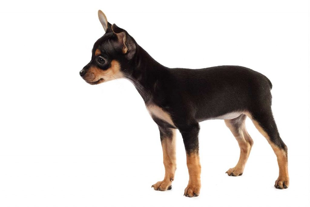Toy Terrier wallpapers HD