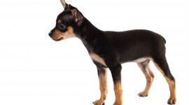 Toy Terrier Wallpaper High Definition