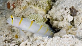 Watchman Goby High Quality Wallpaper