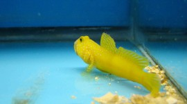 Watchman Goby Wallpaper Download Free