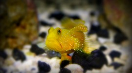 Watchman Goby Wallpaper For PC