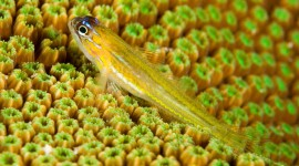 Watchman Goby Wallpaper Free