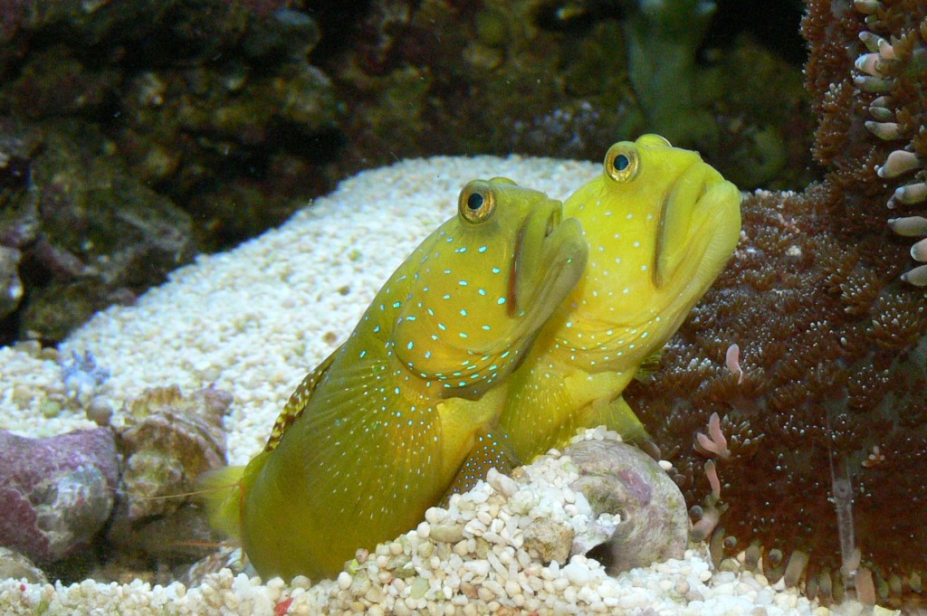 Watchman Goby wallpapers HD