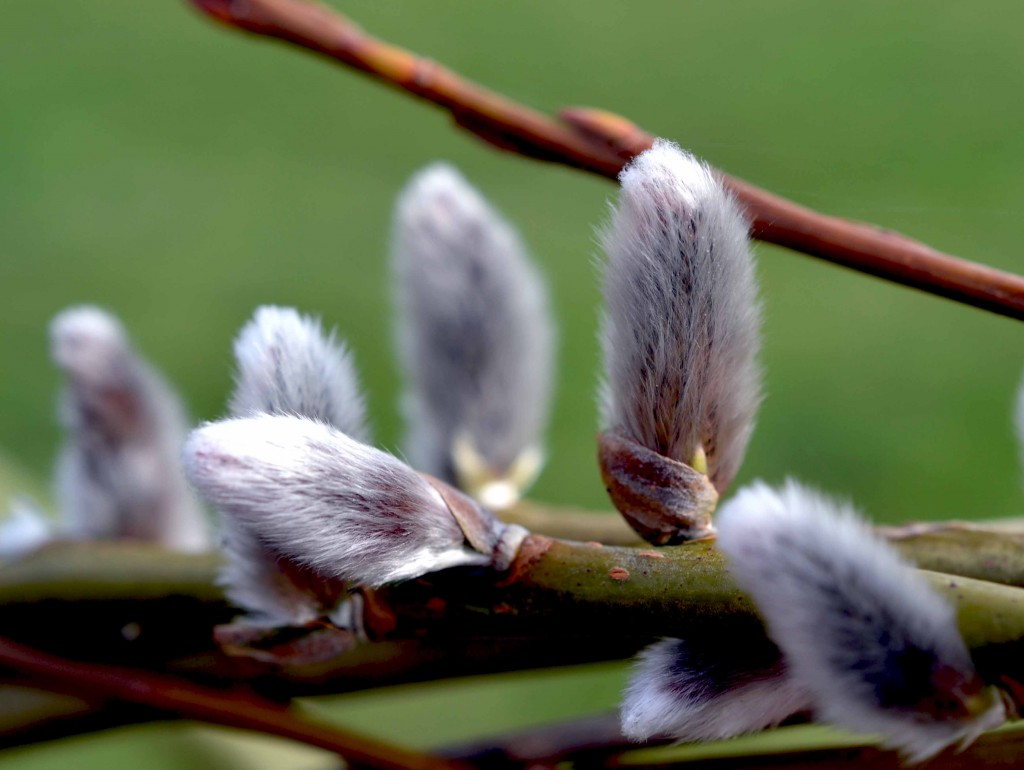 Willow Buds wallpapers HD