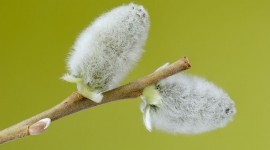 Willow Buds Photo