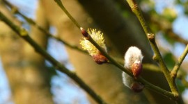 Willow Buds Wallpaper Free