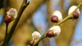 Willow Buds Wallpaper Full HD