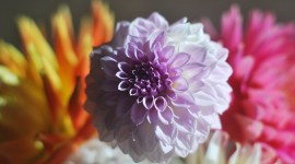 4K Dahlia Photo Download