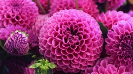 4K Dahlia Wallpaper Download