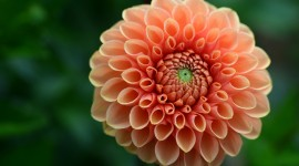 4K Dahlia Wallpaper Download Free