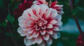 4K Dahlia Wallpaper Gallery