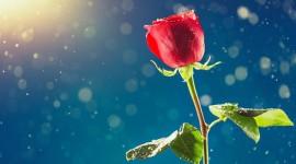 A Single Rose Desktop Wallpaper