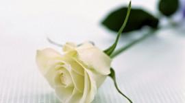 A Single Rose Desktop Wallpaper For PC