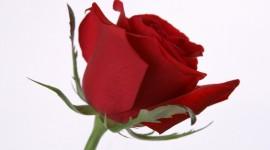 A Single Rose Desktop Wallpaper HD