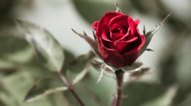 A Single Rose Photo Download