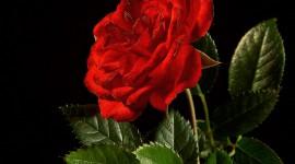A Single Rose Photo Free