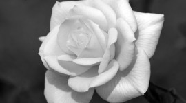A Single Rose Wallpaper