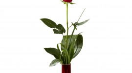 A Single Rose Wallpaper For Mobile#2