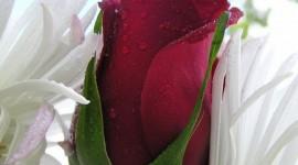 A Single Rose Wallpaper Free