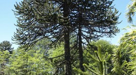 Araucaria High Quality Wallpaper