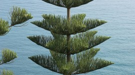 Araucaria Wallpaper Download