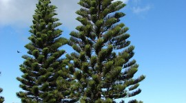 Araucaria Wallpaper For IPhone