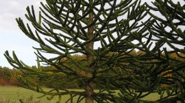 Araucaria Wallpaper For IPhone Free