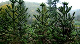 Araucaria Wallpaper For PC