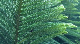 Araucaria Wallpaper Free