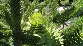 Araucaria Wallpaper Full HD