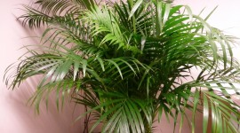 Areca Wallpaper HD
