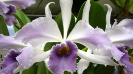 Cattleya Desktop Wallpaper HD