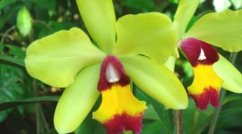 Cattleya Wallpaper Download Free